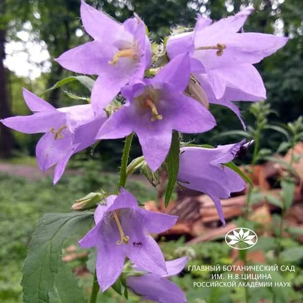 В Ботаническом саду зацвел редкий вид колокольчика