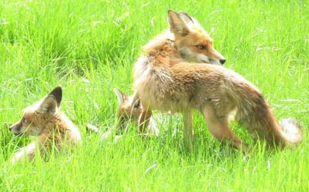 В лесопарках ЮВАО диких лис начали вакцинировать от бешенства