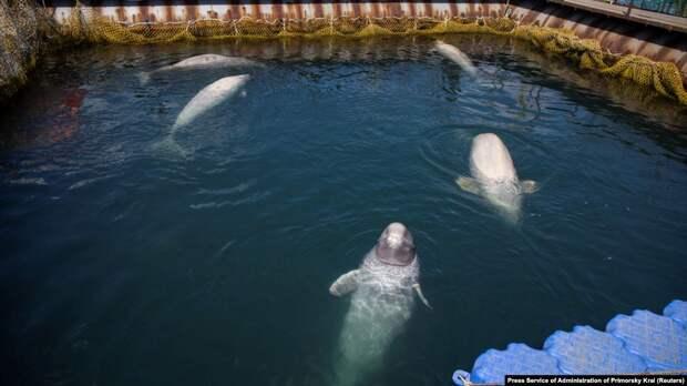 Отловщика «китовой тюрьмы» в Приморье оштрафовали на 28 млн рублей