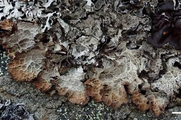 На Командорских островах нашли уникальный для России лишайник