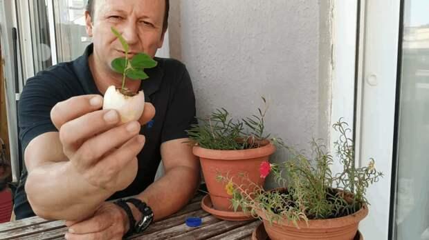 Легкий и действующий способ получить свой лимон на подоконнике