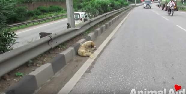Раненная собака лежала посреди оживленного шоссе и смирно ждала спасения