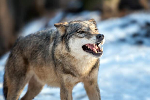 Житель Воронежской области задушил напавшую на него бешеную волчицу