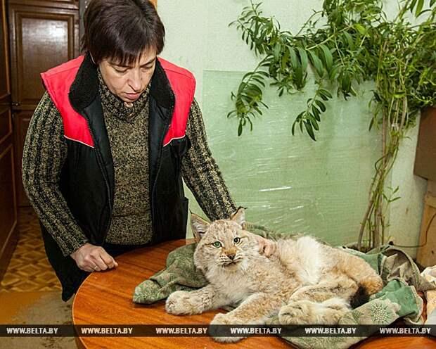 Директор зоопарка Ирина Орлова оказывает помощь раненой рыси