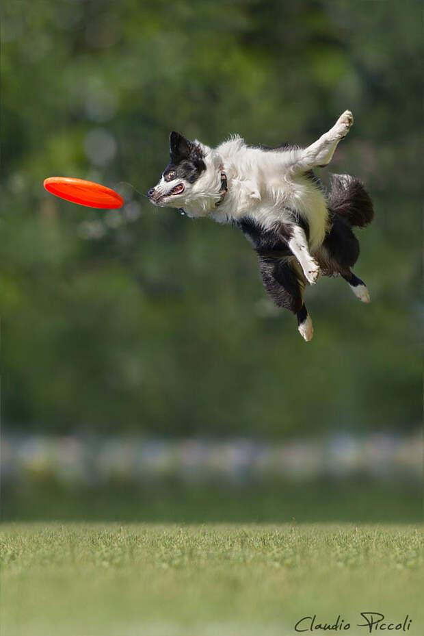 Супер собаки в фотографиях Клаудио Пикколи 35