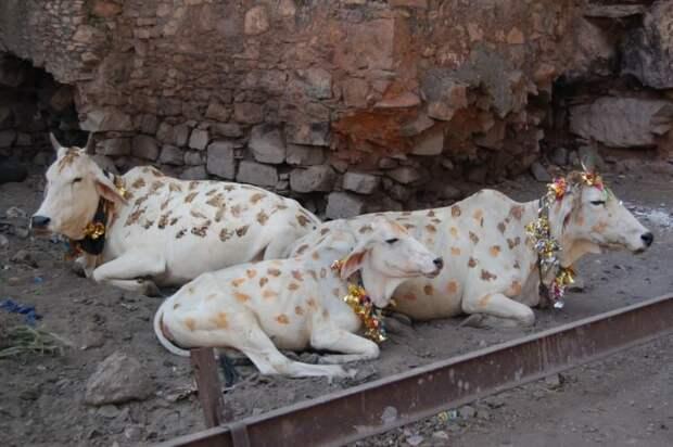 В Индии коров до сих пор считают священными животными.