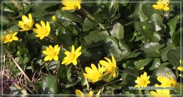 Цветы анемонелла чистяки сангвинария (фото) — посадка и уход