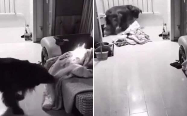 Суперпес: соцсети восхитил ретривер, пытающийся потушить горящее одеяло