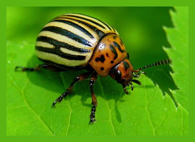Проверенные народные способы борьбы с колорадскими жуками.