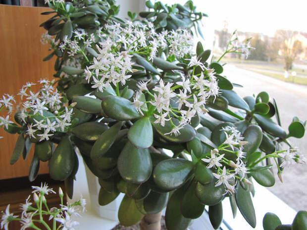 5 шагов и денежное дерево даст бутоны и начнет обильно цвести
