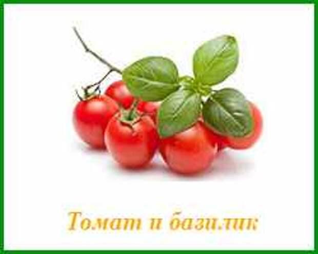 томат и базилик можно сажать вместе