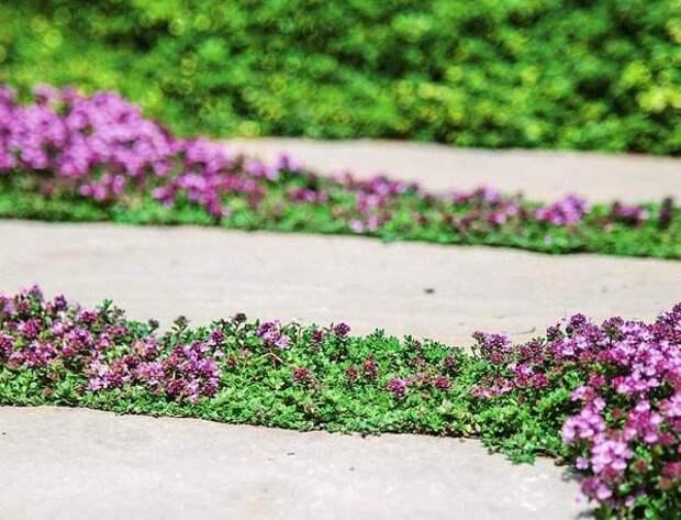 Для посадки в швах идеально подходят интенсивно пахнущие стелющиеся виды тимьяна
