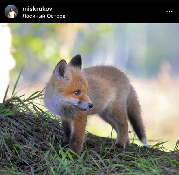 Фото дня: в «Лосином острове» заметили детеныша лисы