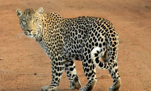 Лев подкрадывается к леопарду, чтобы прогнать со своей территории: видео