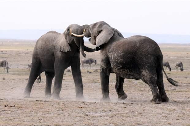 Ум и хитрость помогает слонам победить соперника даже в безобидных играх. Агрессию самцы проявляют разве что в период ухаживания и брачных игр