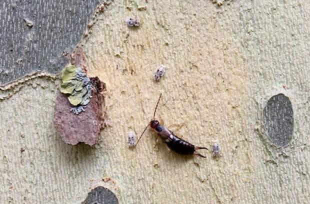 Уховертка и ее личинки