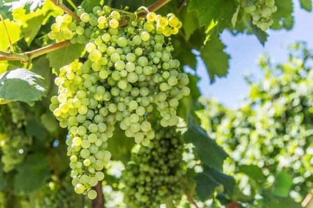 куст винограда с урожаем
