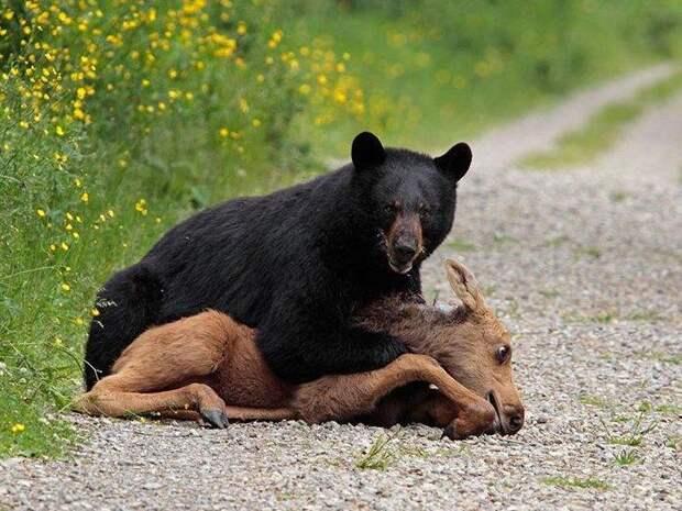 Барибал-медведь-Описание-и-образ-жизни-барибала-2