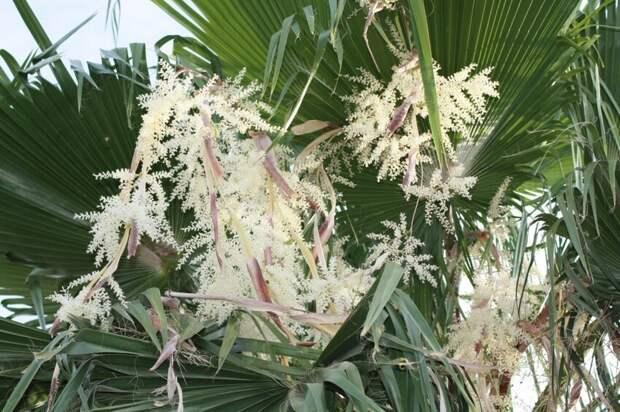 Финиковая пальма в цвету