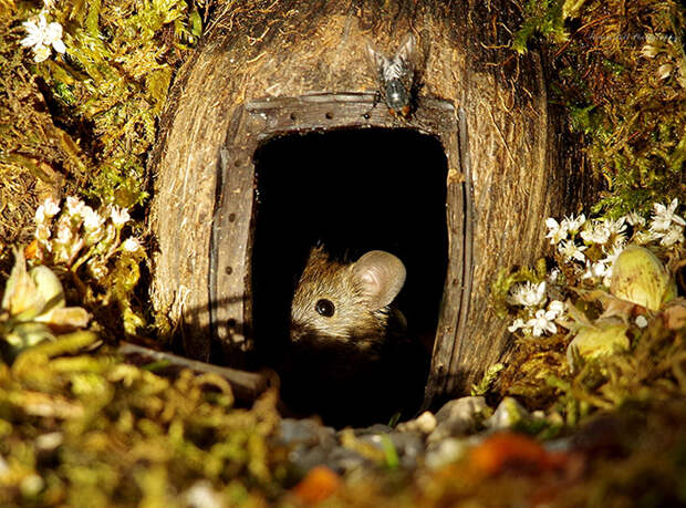 Саймон рассказывает, что среди новых мышек есть одна определенно беременная.