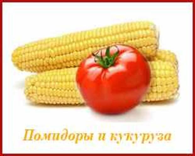 не сажайте кукурузу рядом с помидорами