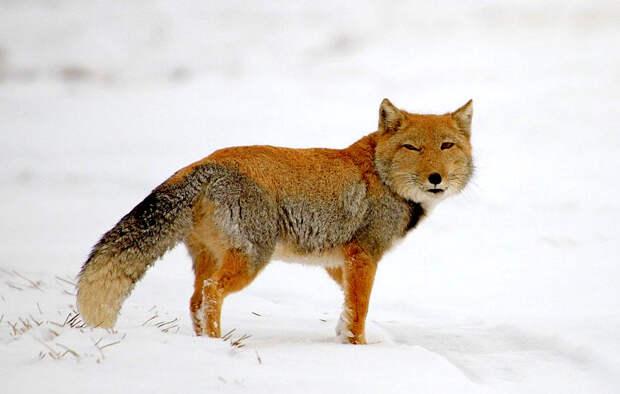 Самые интересные животные мира. Тибетская лиса