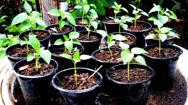 Часть 2: Уход за рассадой болгарского перчика для отличного урожая!