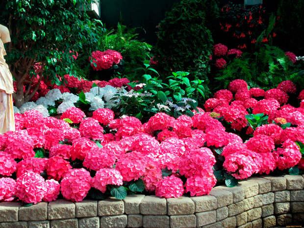 Многолетнее садовое растение Гортензия (Hydrangea)