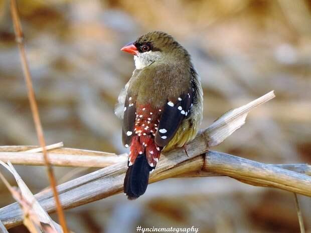 Восхитительный клубничный вьюрок меняет цвет оперения, чтобы найти себе пару