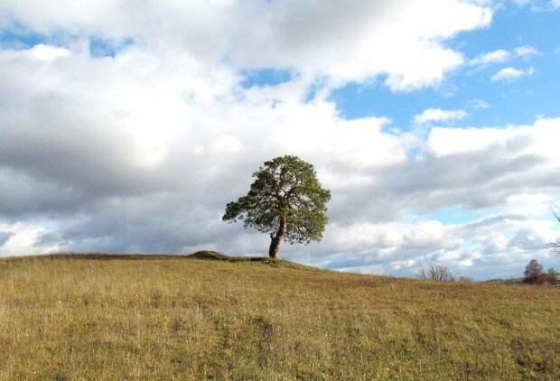 Сосна из Удмуртии может стать деревом России