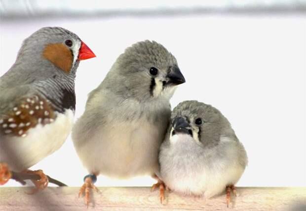 Шумовое загрязнение мешает птенцам разучивать песни