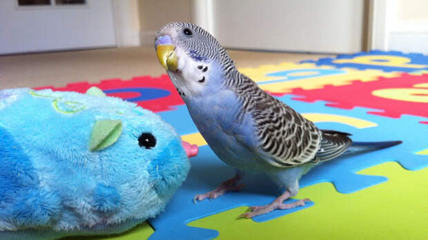 Сделайте попугаю игровой уголок, чтобы он не испортил предметы интерьера