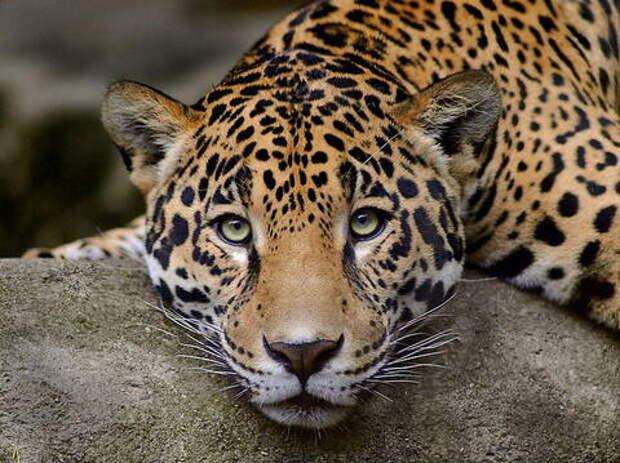 Леопард из Сочи ушел жить в Грузию