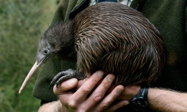 Эта птица из Новой Зеландии живет до 60 лет