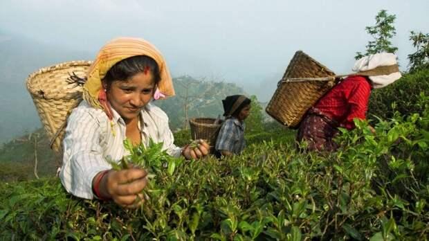 Агроном раскрыл последствия роста цен на черный индийский чай для РФ