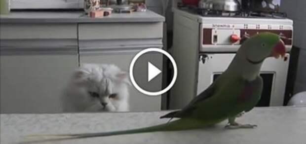 Попугай настолько обнаглел, что решил окончательно достать кота