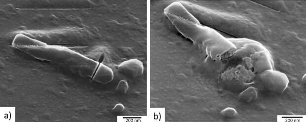 Гелиевый микроскоп показал «пир» бактериофагов