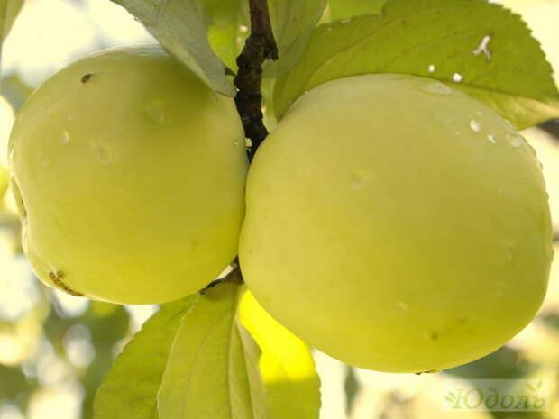 Патриотические яблоки