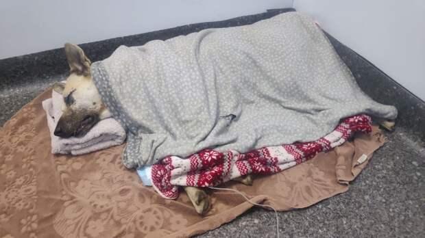 Закрытая черепно-мозговая травма и рваная рана: Как чувствует себя дворняга Кефир, которого искусал бойцовский пёс в Симферополе