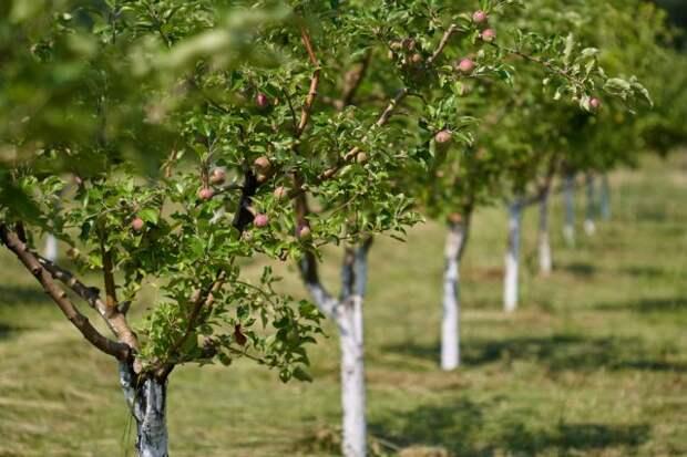 Сорта деревьев