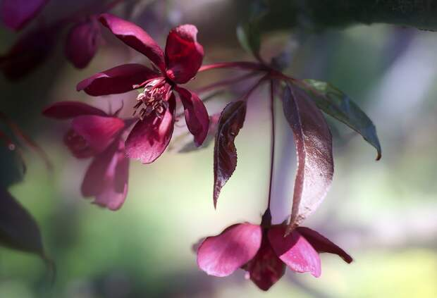 Цветок, Цветы, Весна, Розовый, Рай Дерево, Сад, Дерево