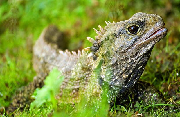 Гаттерия (туатара) - рептилия, пережившая динозавров На краю…