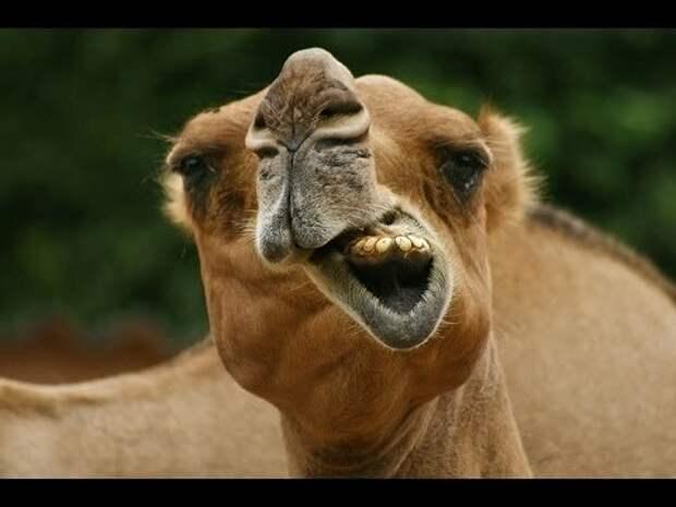Как наши верблюда заплевали