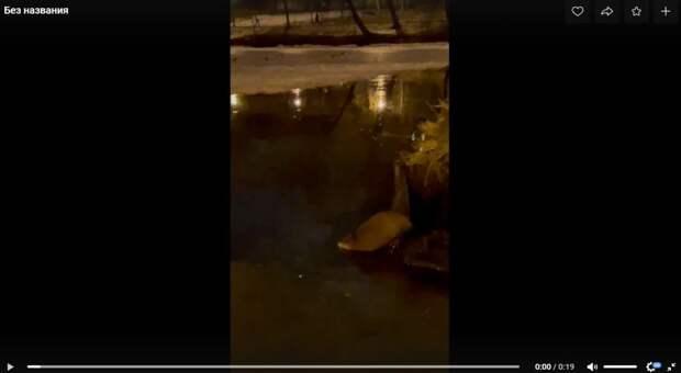 Лефортовская ондатра устроила ночной апрельский заплыв