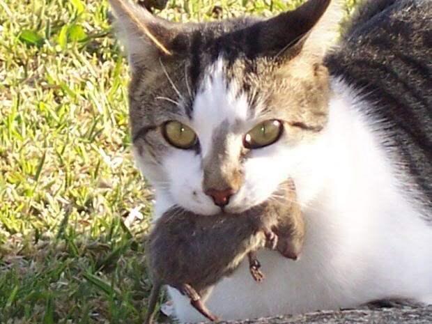 Как заставить кота ловить мышей. Почему кот не ловит мышей?