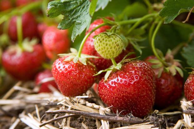 Как повысить урожайность земляники