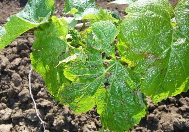 Почему желтеют листья винограда в июне