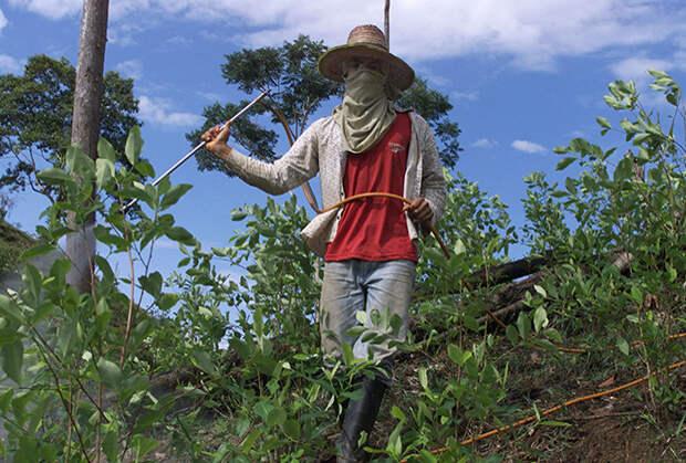 Фермер распыляет пестициды на плантации коки