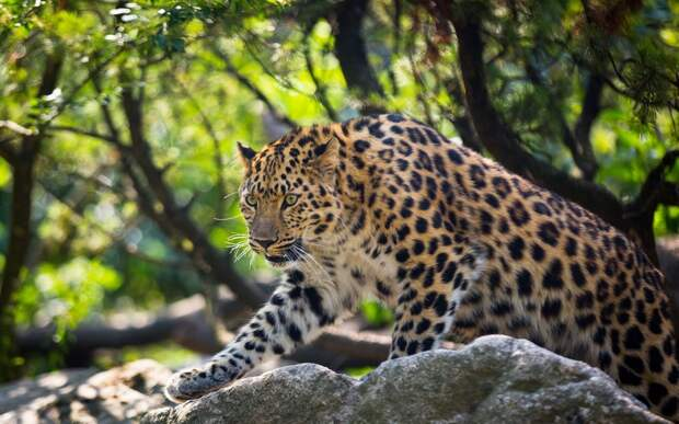 Самые интересные животные мира. Амурский леопард