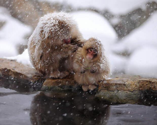 Снежные обезьяны Японии 2012